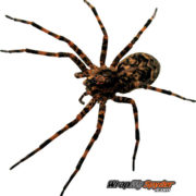 Wolf-Spider-Isolated-cut-out-2